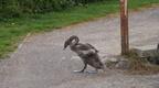 Swans at Carnforth
